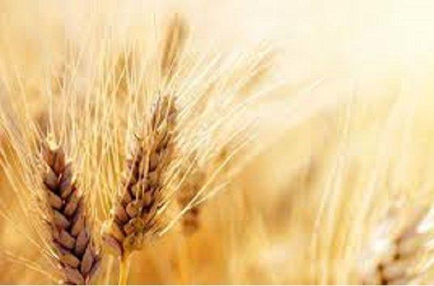 30 مرکز خرید گندم در استان ایلام ایجاد می گردد