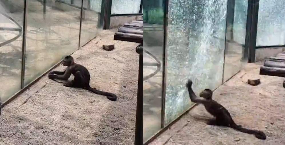 تبحر باورنکردنی یک میمون باهوش در استفاده از سنگ!