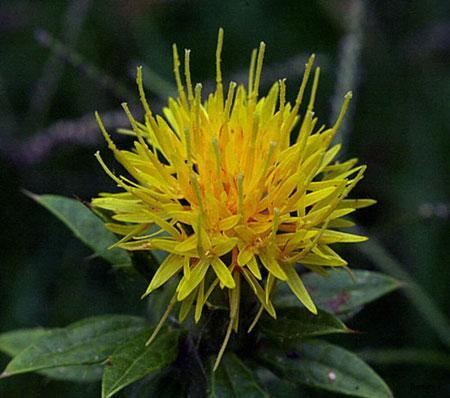 امکان تولید انسولین ارزان قیمت از گل ها
