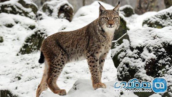 معرفی تعدادی از خطرناک ترین گربه سانان دنیا