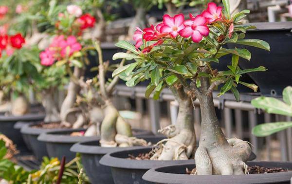 نکات کاربردی برای نگهداری و پرورش گیاه آدنیوم
