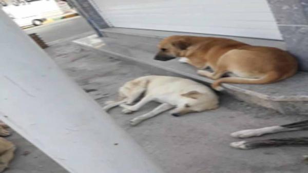 جولان سگ های ولگرد در خیابان های بندر ماهشهر